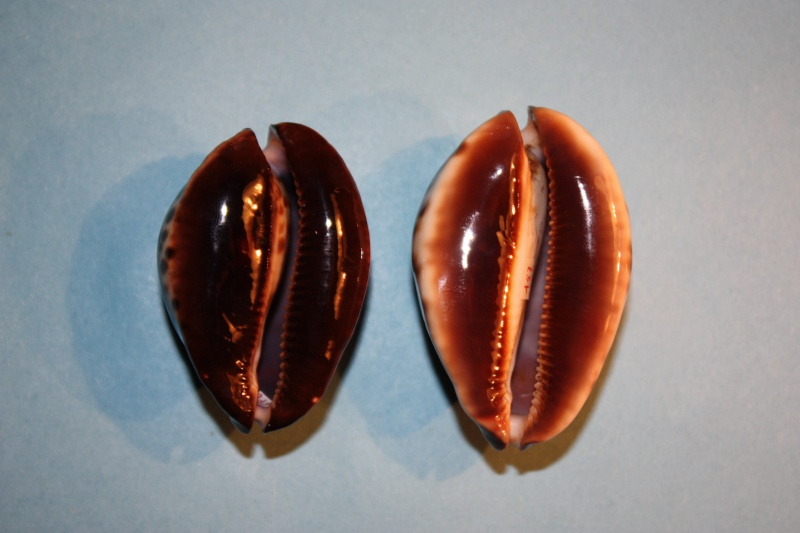 Zoila jeaniana sherylae - L. Raybaudi, 1990 - Var. pâle Img_3911