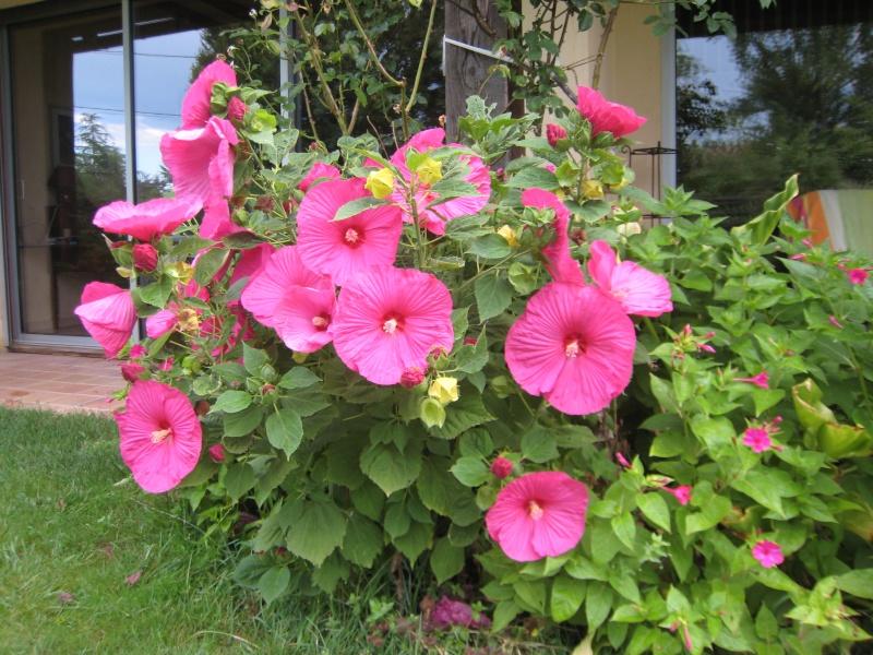 hibiscus a fleur géante:Hibiscus moscheutos cv disco - Page 11 Img_2212