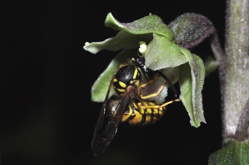 Pollinisation sur Epipactis purpurata 212
