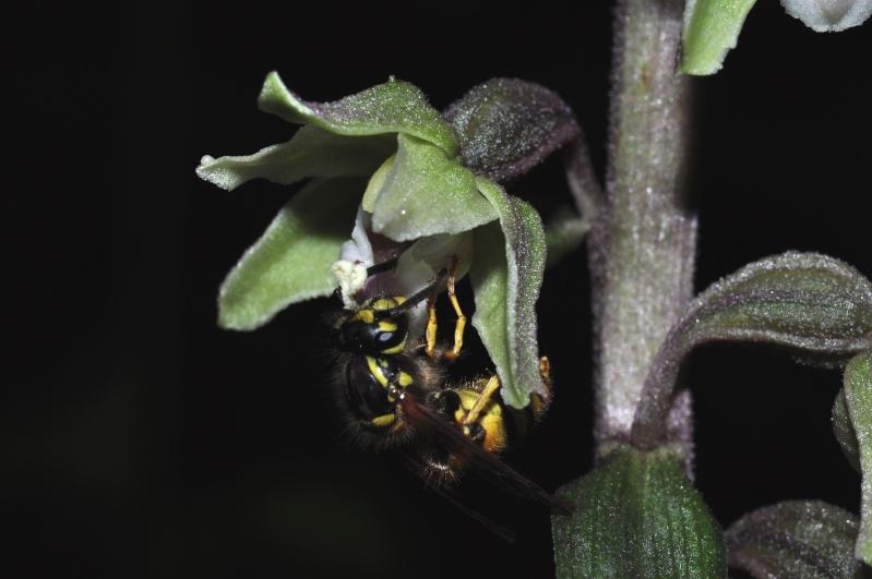 Pollinisation sur Epipactis purpurata 310