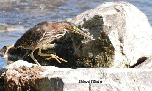 Héron vert à la pêche Hv_pec13
