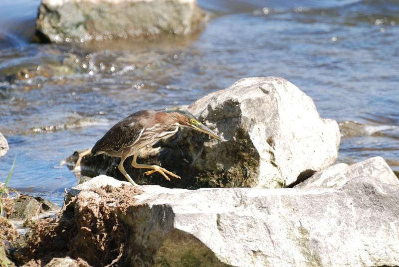 Héron vert à la pêche Hv_pec16