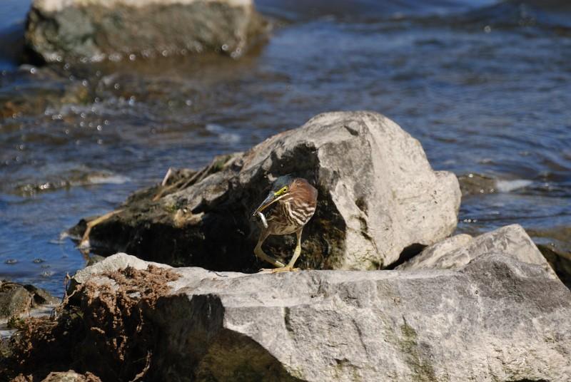 Héron vert à la pêche Hv_pec18