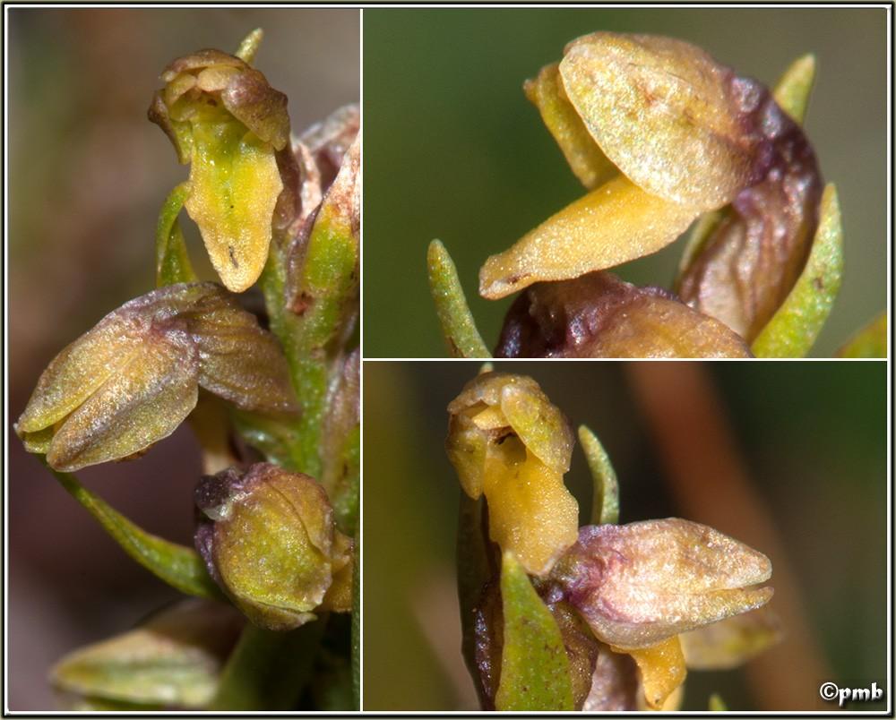 Chamorchis alpina  ( Orchis nain ) Cayoll22