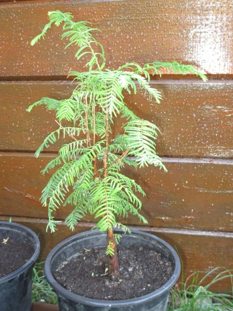 comment tailler mon metasequoia Img_0011