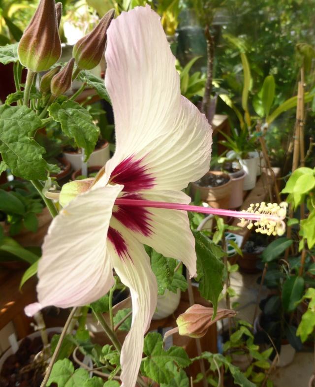 Hibiscus cameronii - hibiscus de Cameron 10-09-12
