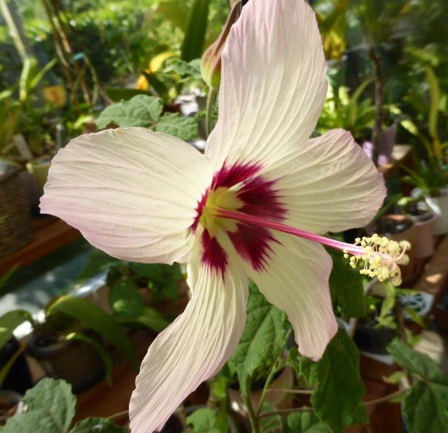 Hibiscus cameronii - hibiscus de Cameron 10-09-13