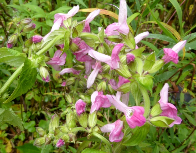 Salvia glabrescens 'Momobana'  12-10-14