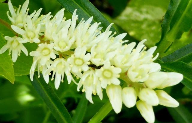 Heuchera macrorhyza, Campanula alliariifolia, Itea virginica 'Henry's Garnet' [devinette] 16-06-10