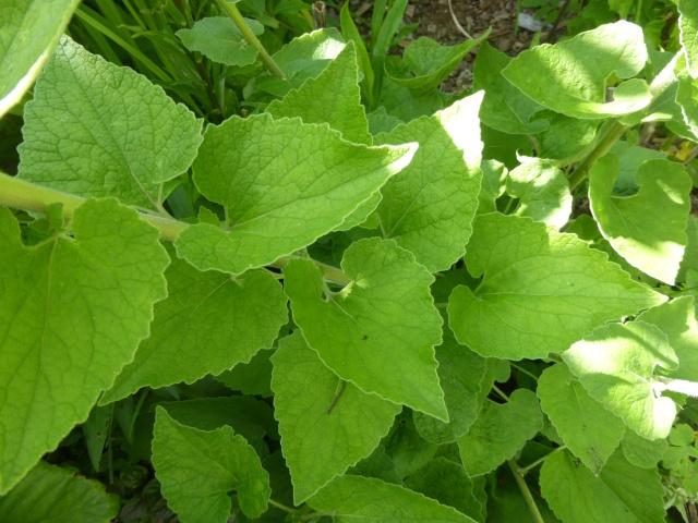 Heuchera macrorhyza, Campanula alliariifolia, Itea virginica 'Henry's Garnet' [devinette] 16-06-11