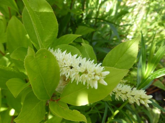 Heuchera macrorhyza, Campanula alliariifolia, Itea virginica 'Henry's Garnet' [devinette] 16-06-14
