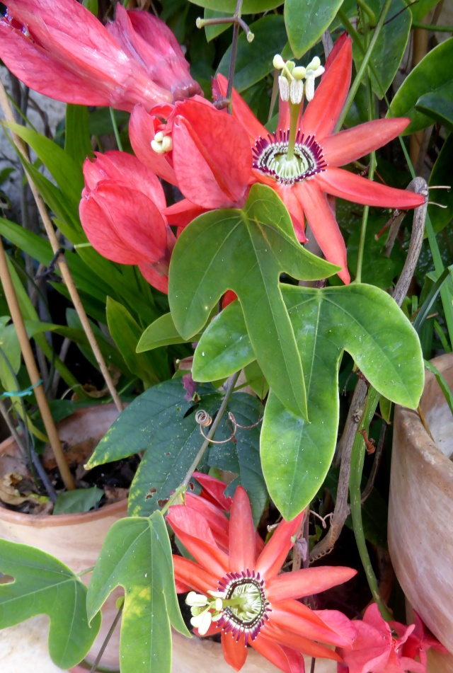 Passiflora racemosa 19-10-15