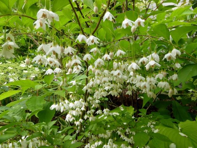 Styrax japonicum 27-05-10