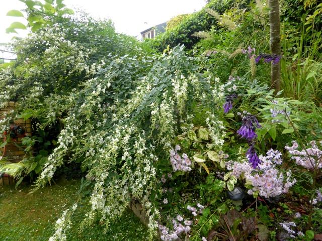 Lespedeza japonica alba 29-09-10