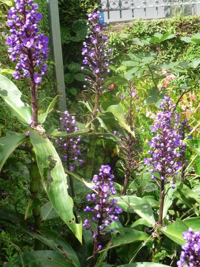 Dichorisandra thyrsiflora - gingembre bleu Rodrig10
