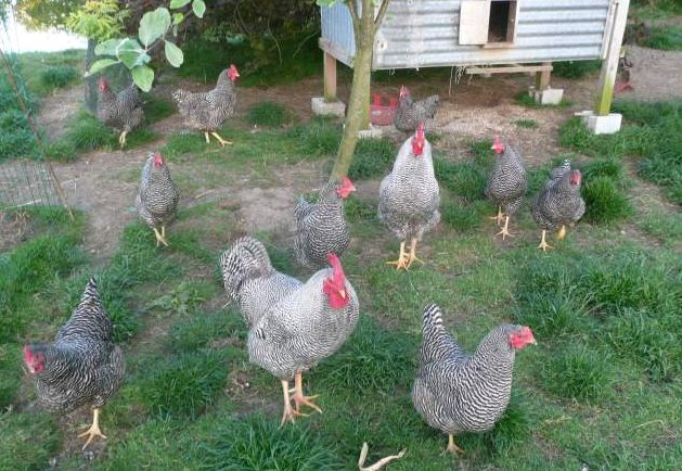 la poule Amrock Amr110