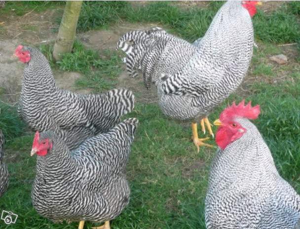 la poule Amrock Amr310