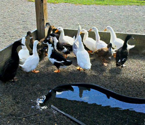élever des canards Pic210