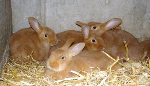 le lapin Fauve de Bourgogne Pic214