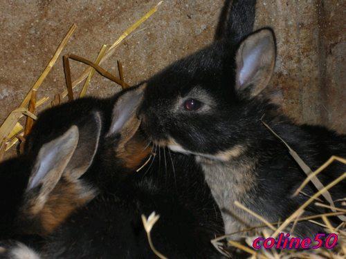 le lapin Chèvre Pic311