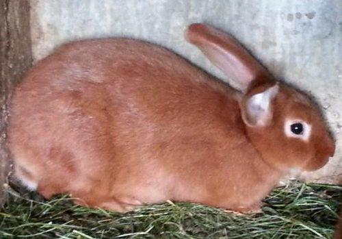 le lapin Fauve de Bourgogne Pic313