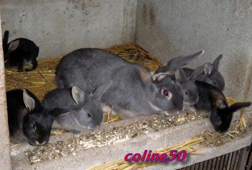 le lapin Chèvre Pic411