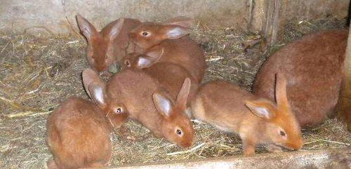 le lapin Fauve de Bourgogne Pic412