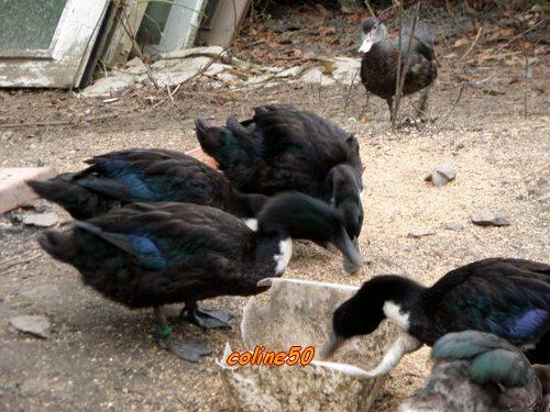 élever des canards Pic510