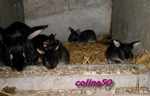 le lapin Chèvre Pic511
