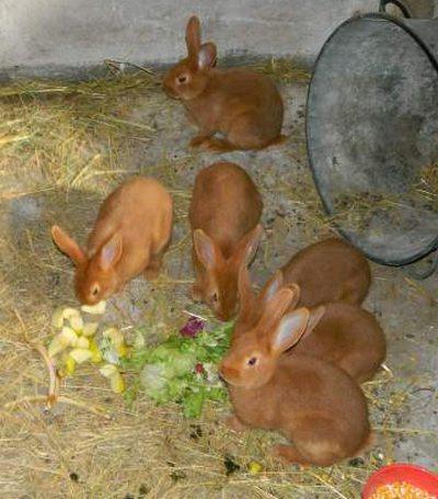 le lapin Fauve de Bourgogne Pic512