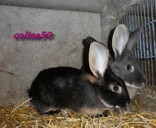 le lapin Chèvre Pic_111