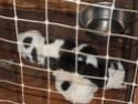 Sancha & Koada's Akita puppies My_pic19