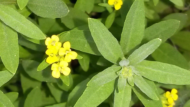 Fido au jardin - Plantes toxiques cultivées et sauvages 20140612