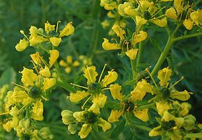 Fido au jardin - Plantes toxiques cultivées et sauvages 290px-10