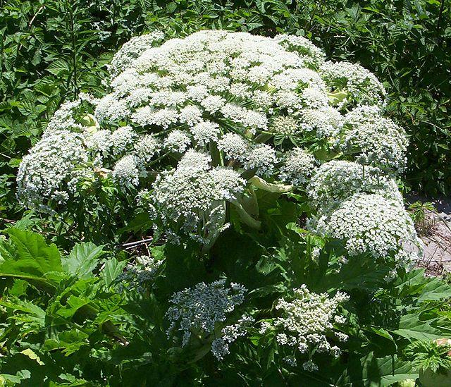 Fido au jardin - Plantes toxiques cultivées et sauvages 640px-10