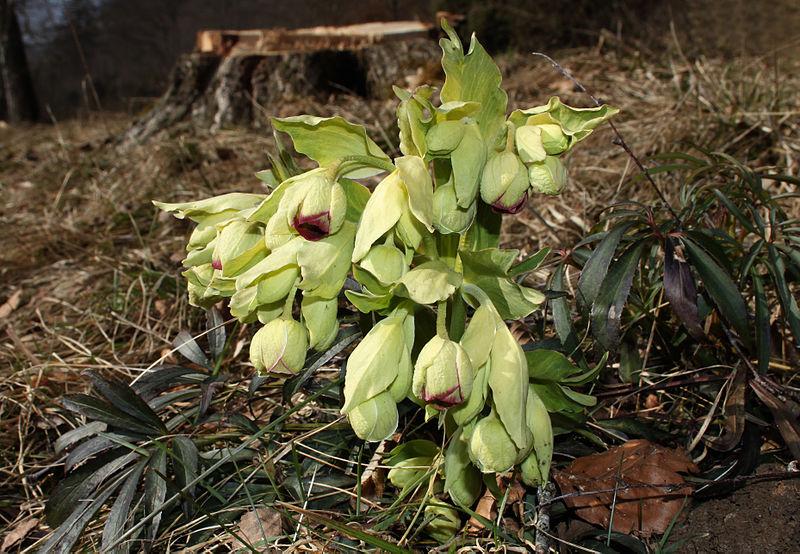Fido au jardin - Plantes toxiques cultivées et sauvages 800px-10