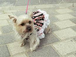Accessoires de mode pour chiens, pour ou contre ?  - Page 7 Images37