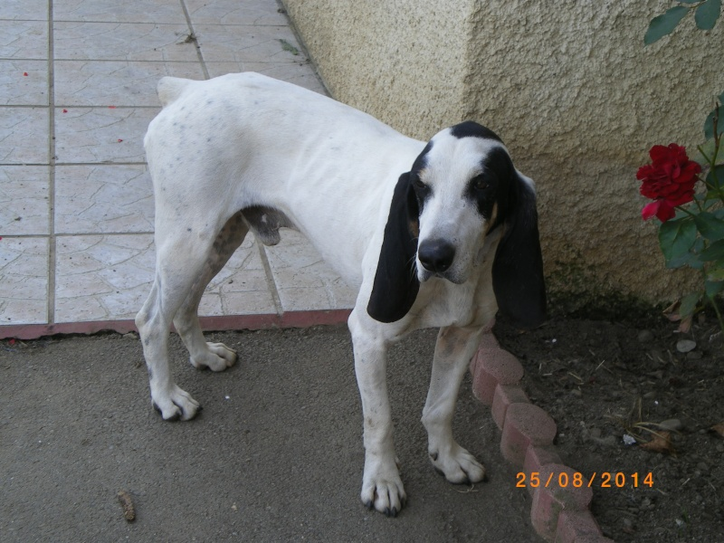 Junior alias Lick, 2 ans 1/2, mâle, x Gascon Saintongeois, IE 250268711119686 / SAUVETAGE  Imgp2111
