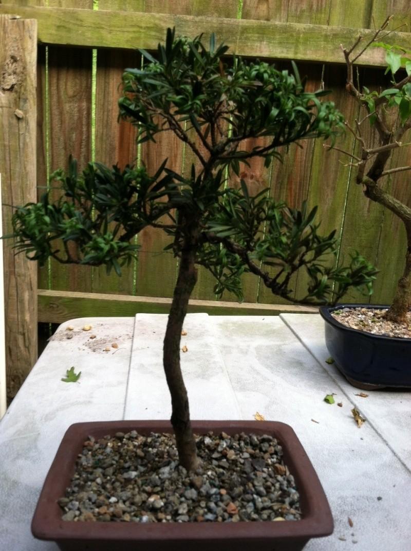 Podocarpus  tree  with pictures Podoca12