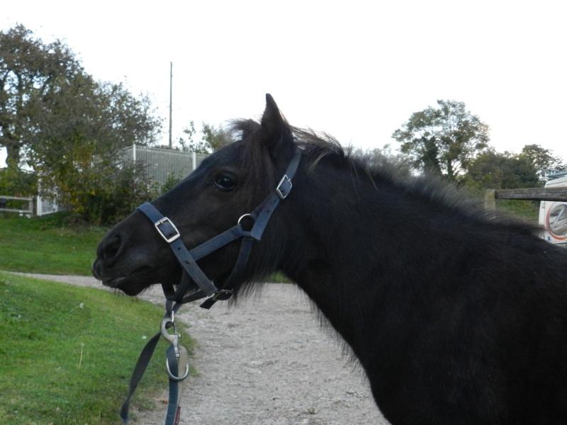Poney shetland pp noir (61) Aaaaa110