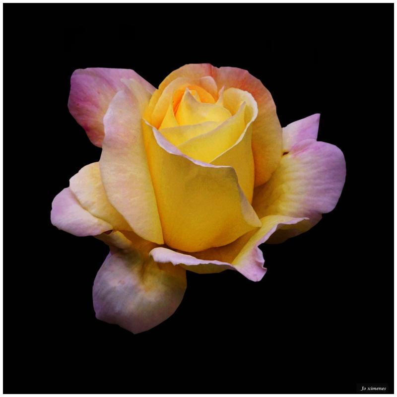 Une ancienne Rose Rosefi10