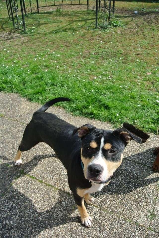 DOUG, croisé berger/dogue, né en janvier 2013 (dpt 60)  Dsc_1312