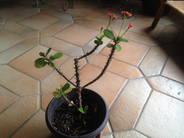 Euphorbia milii ou Epine du Christ Img_1410