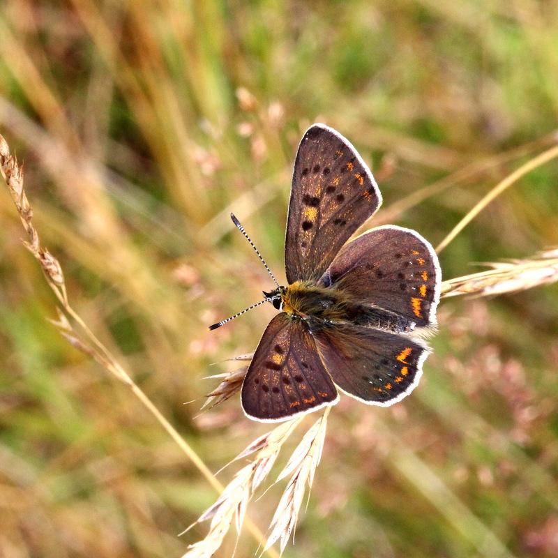 Papillons ???? Kercur10