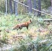Wildtier-Livecams Fuchs_10