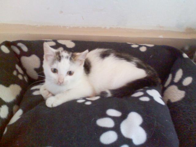 MELODIE - 2 ans - Femelle blanche et marbrée marron Image910