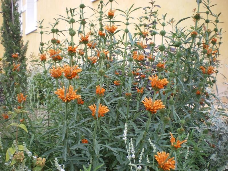 plante originale orangée aux fleurs étagées Imgp2710
