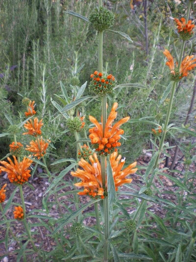 plante originale orangée aux fleurs étagées Imgp2711