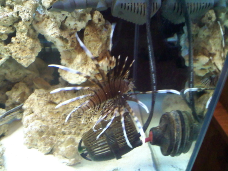 My lion fish changed colors! =-) 07200011