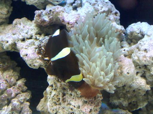 Getting anemone for my maroon clown! (PICS UP!!!) Downsi14